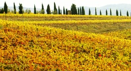 golden vineyards & cypress