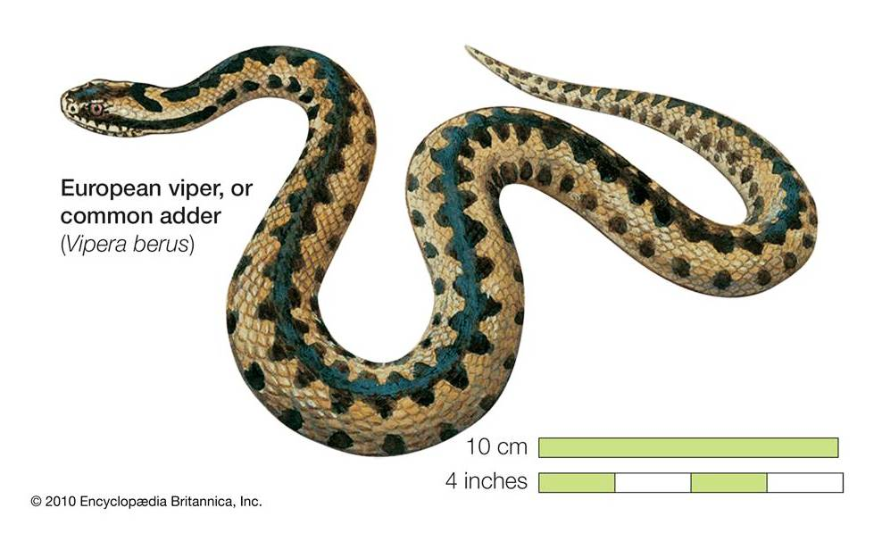 Viper berus