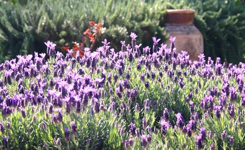 French lavender hedge