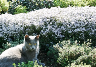 Thyme in bloom & cat