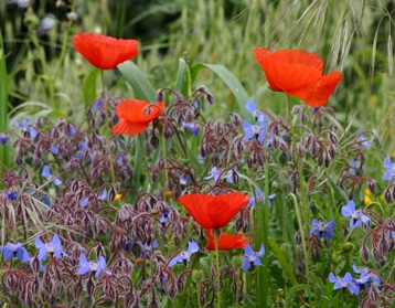 wildflowers Borage & poppies