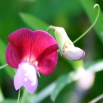 Wildflower pea Sicily