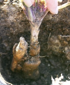 root of mandrake plant