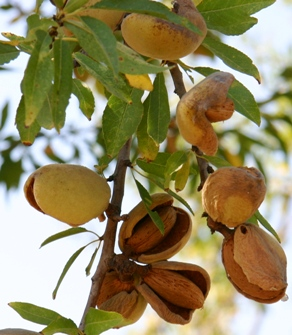almond harvest in Sicily