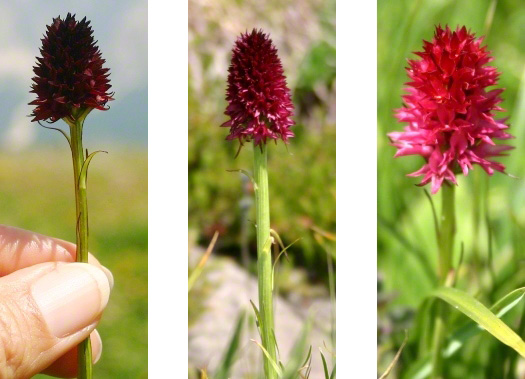 nigritella orchids